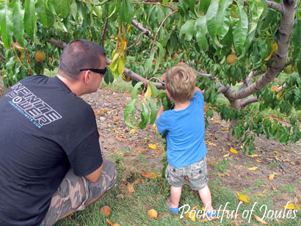 Picking peaches - Jack and daddy